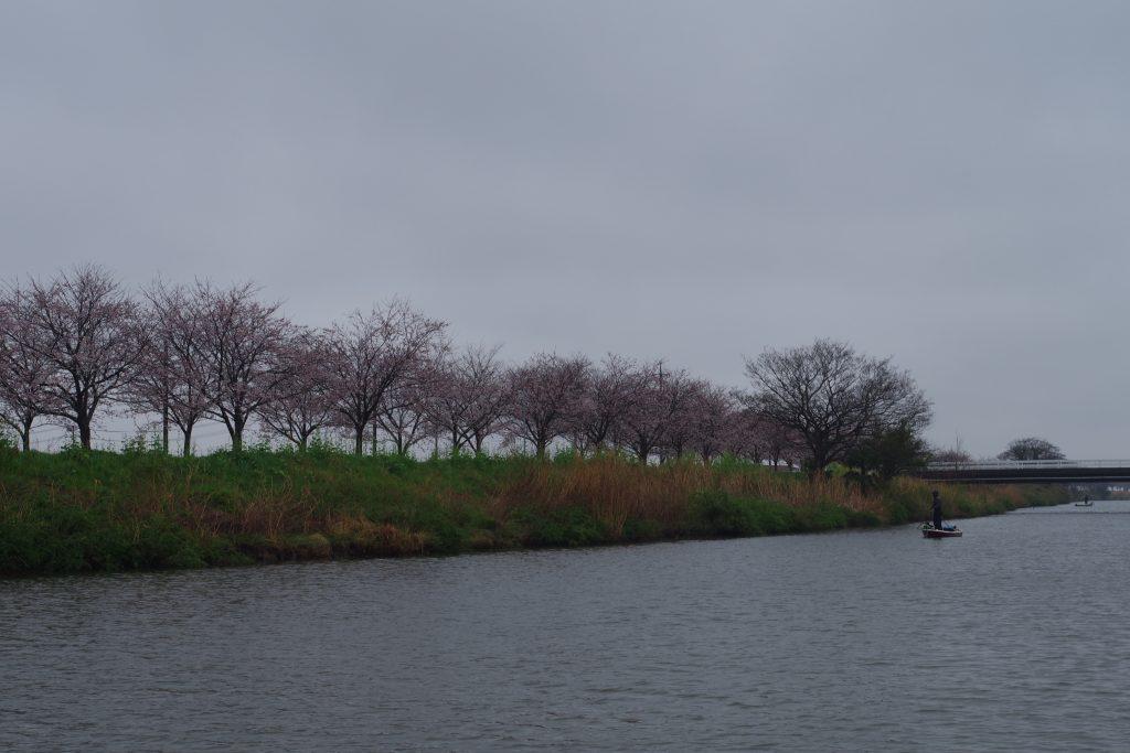 新利根川桜並木