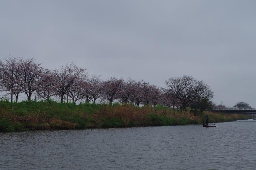 新利根川の桜並木