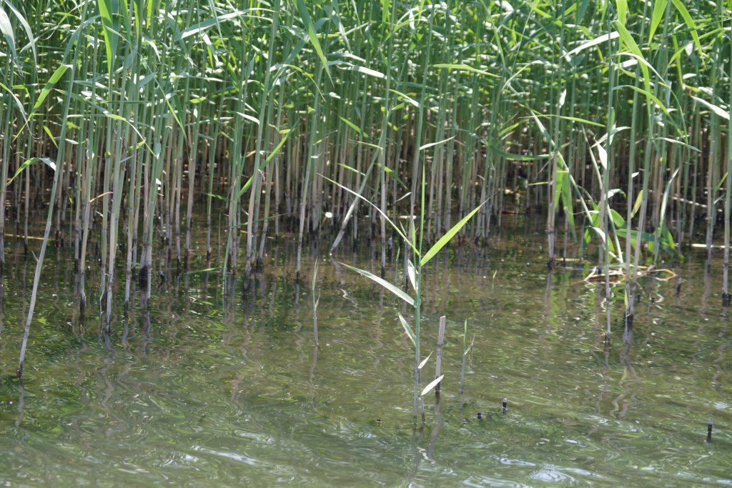 牛久沼5月のアシギワ