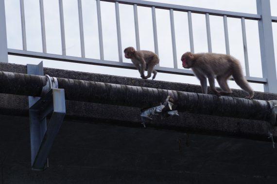 亀山ダムのニホンザル
