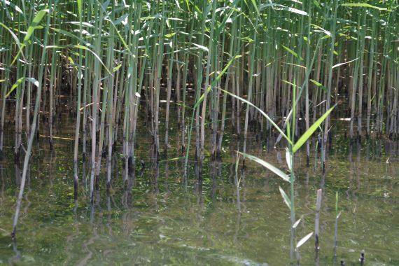牛久沼のアシギワ