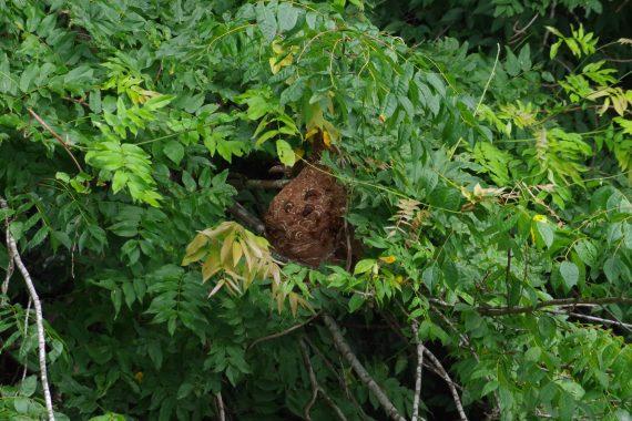 相模湖勝瀬橋スズメバチの巣