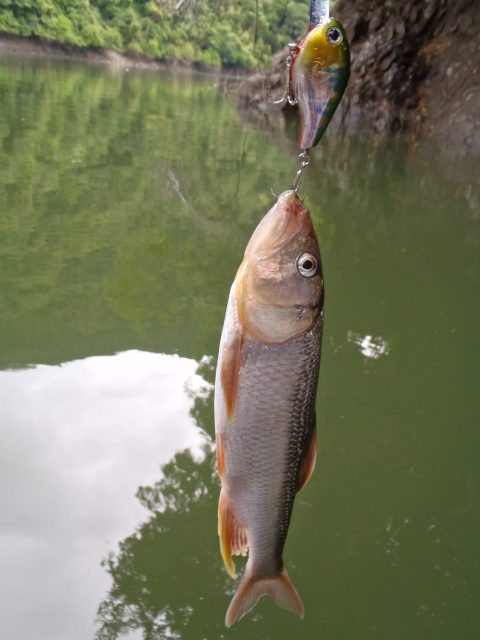 津久井湖のハス