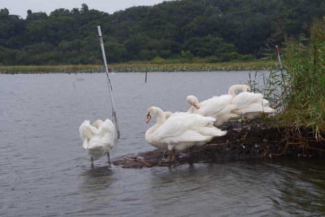 牛久沼の白鳥