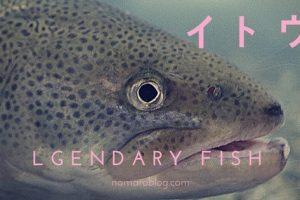 幻の魚イトウ